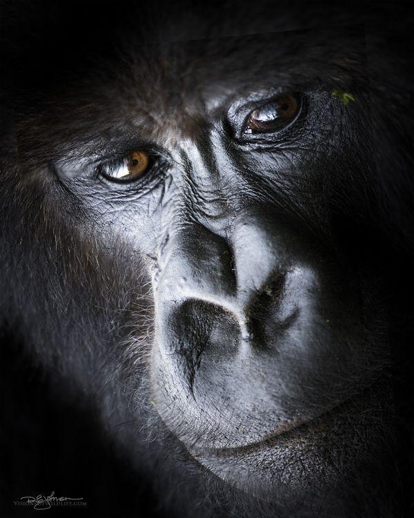 年輕大猩猩的肖像