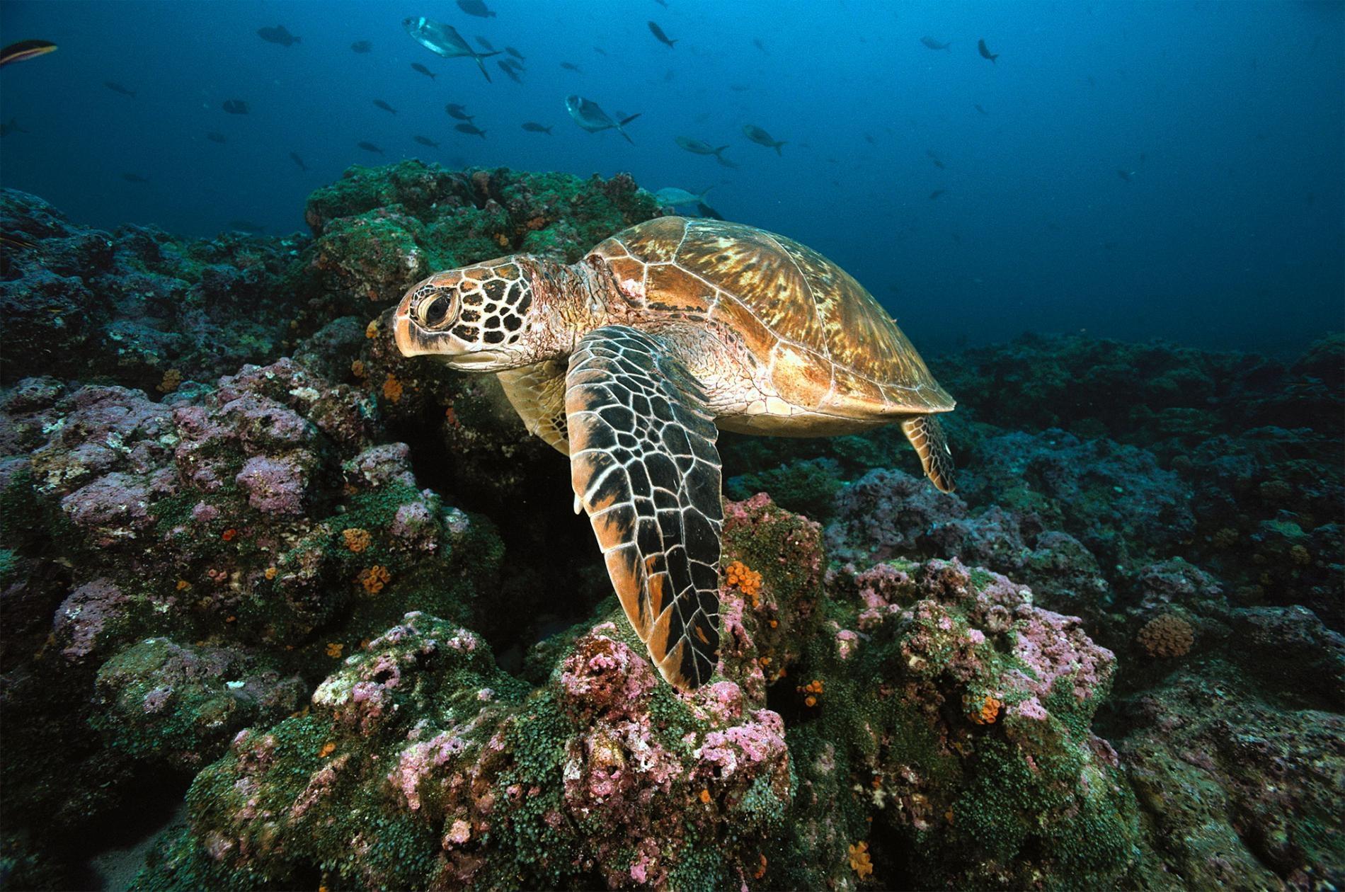 為什麼這些海龜有99%轉變為雌性?