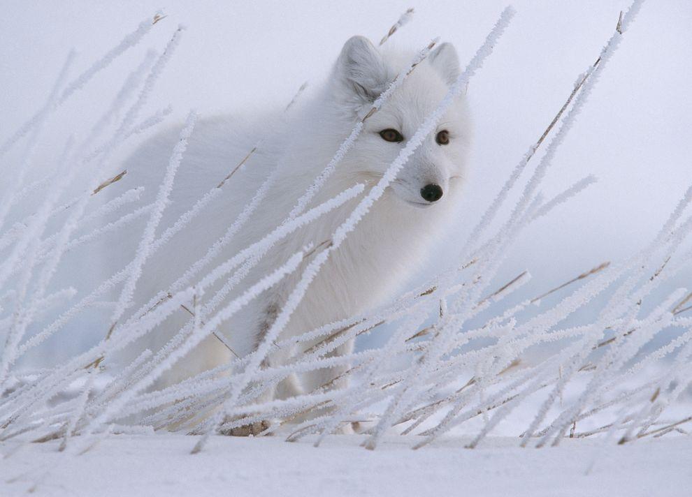 有著超級利齒的絕種狐狸現身西藏