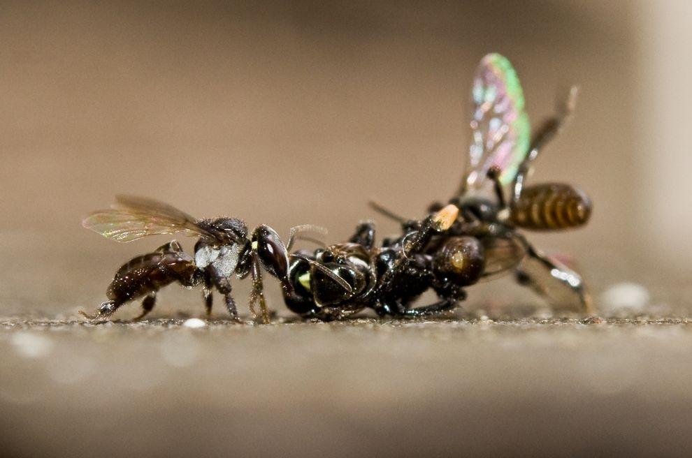 蜜蜂展開驚人激戰——女將盡出
