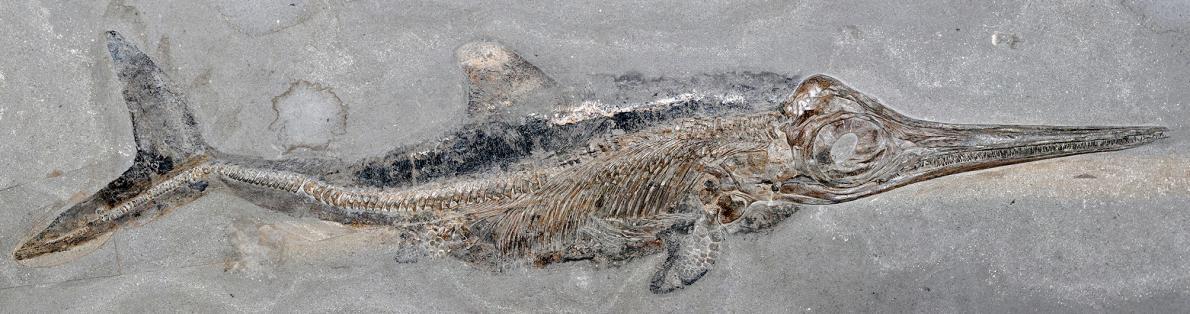 德國霍爾茨馬登的頁岩採石場出土過許多1億8000萬年前的海洋生物化石,其中包括上千具長得像海豚的爬行動物魚龍,例如這隻狹翼魚龍亞成體。現在,學者正在分析另一具來自霍爾茨馬登的狹翼魚龍樣本,且首度發現了化石化的海獸脂。PHOTOGRAPH BY BENJAMIN KEAR