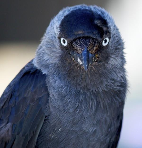 嚇退敵人的鳥「瞪眼」