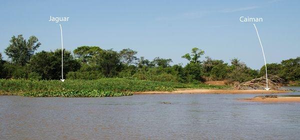 美洲豹獵殺凱門鱷