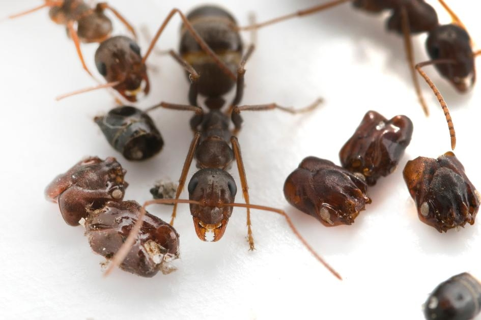 科學家至今仍不確定為什麼這種原生於佛羅里達的螞蟻(Formica archboldi)要蒐集敵人的頭顱。PHOTOGRAPH BY ADRIAN SMITH