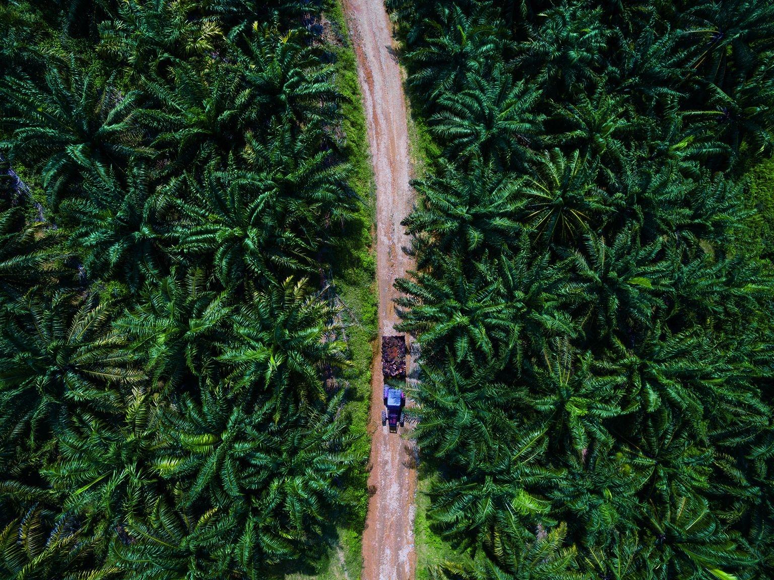 馬來西亞: 一串串油棕果實經人工採收後,由卡車載到馬來西亞本土的榨油廠處理。每公頃油棕生產的油比其他任何作物都多。由於這種全世界最受歡迎的植物油需求暴增,造成最大生產國印尼與馬來西亞的森林遭大規模砍伐、野生動物流失。PASCAL MAITRE