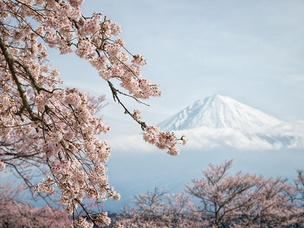 春的腳步:富士山櫻花