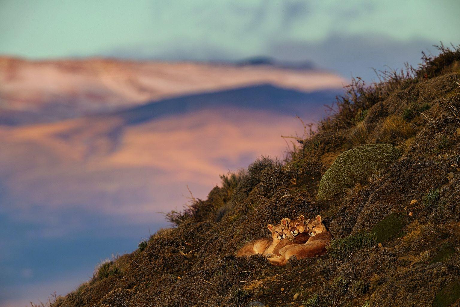 多刺騾草灌叢與岩石碎片並不會對照片中央那隻名叫薩緬托的美洲獅和牠11個月大的幼崽造成困擾。在這個冬日黃昏,牠們在智利百內國家公園附近的薩緬托湖上方緊靠在一起。這隻母家長已經養了好幾代的幼崽,牠大部分時間都在這片水岸狩獵和打盹。