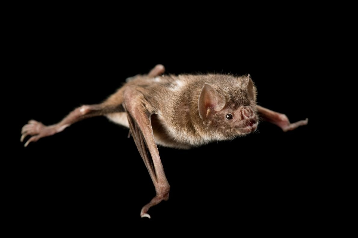玻利維亞的市場裡,有多達20種蝙蝠,包括像這隻一樣的吸血蝙蝠,會被塞在鞋盒裡待價而沽。PHOTOGRAPH BY JOEL SARTORE, NATIONAL GEOGRAPHIC PHOTO ARK