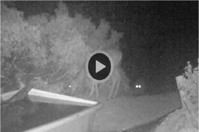 罕見影片:山獅撲倒一頭鹿