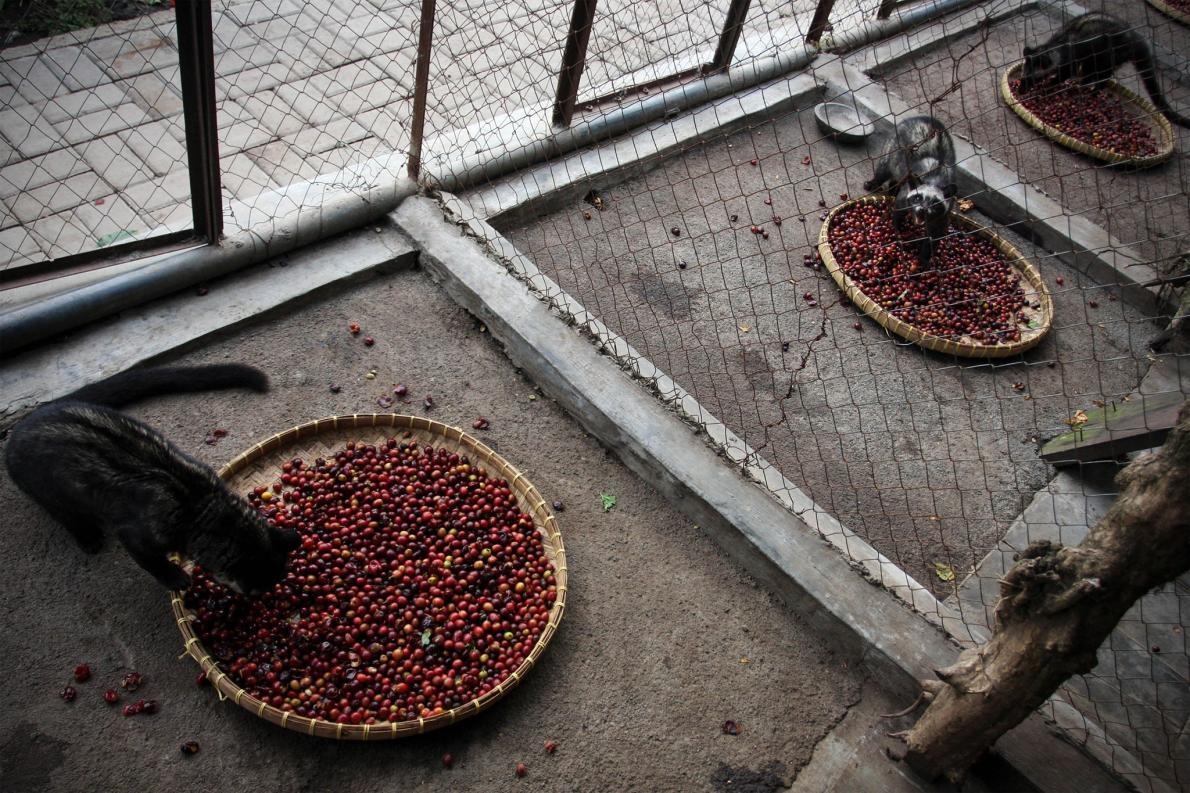 麝香貓:世上最貴咖啡之暗黑秘辛