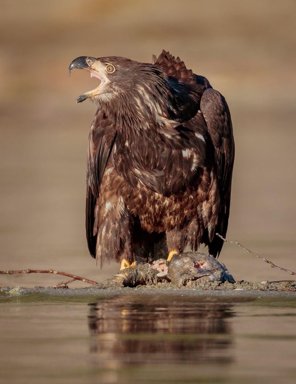 少年白頭鷹與鮭魚