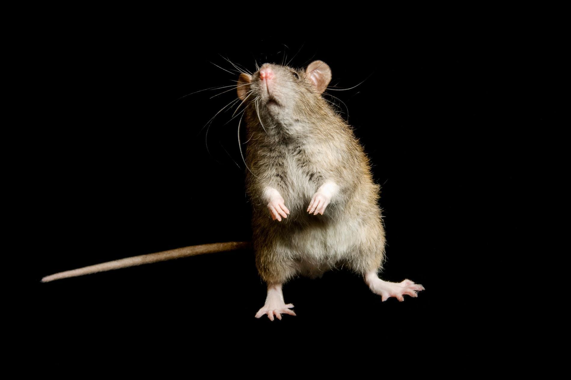喬治米克施薩頓鳥類研究中心(George M. Sutton Avian Research Center)裡的一隻家鼠(Rattus rattus)。PHOTOGRAPH BY JOEL SARTORE, NATIONAL GEOGRAPHIC PHOTO ARK