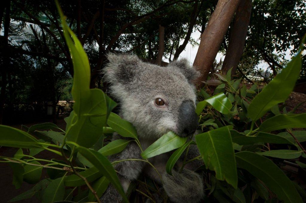 一隻無尾熊在動物醫院裡大啖尤加利葉,無尾熊是澳洲聯邦政府訂定的瀕危物種。攝於澳洲昆士蘭州畢爾瓦。PHOTOGRAPH BY JOEL SARTORE, NATIONAL GEOGRAPHIC CREATIVE