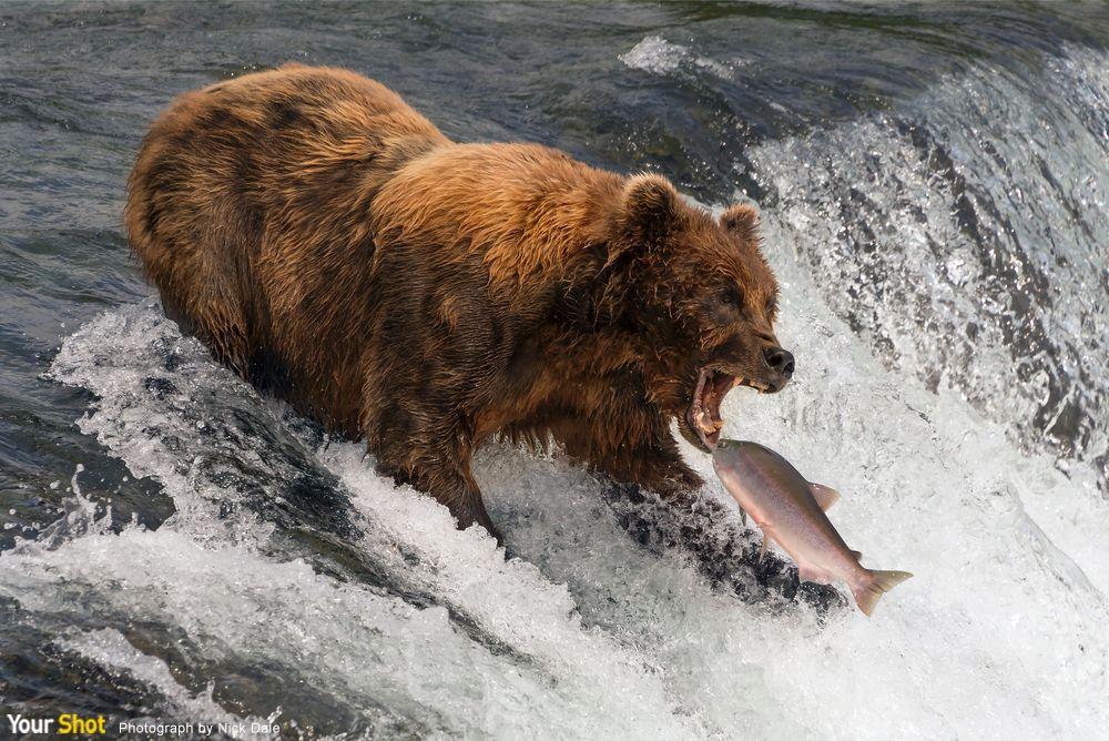 即將到嘴的鮭魚