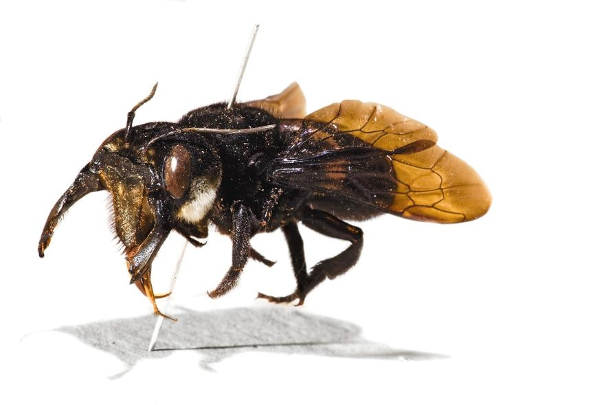 阿爾弗雷德.羅素.華萊士採集的華萊士巨蜂原始標本。PHOTOGRAPH BY ROBERT CLARK, NAT GEO IMAGE COLLECTION