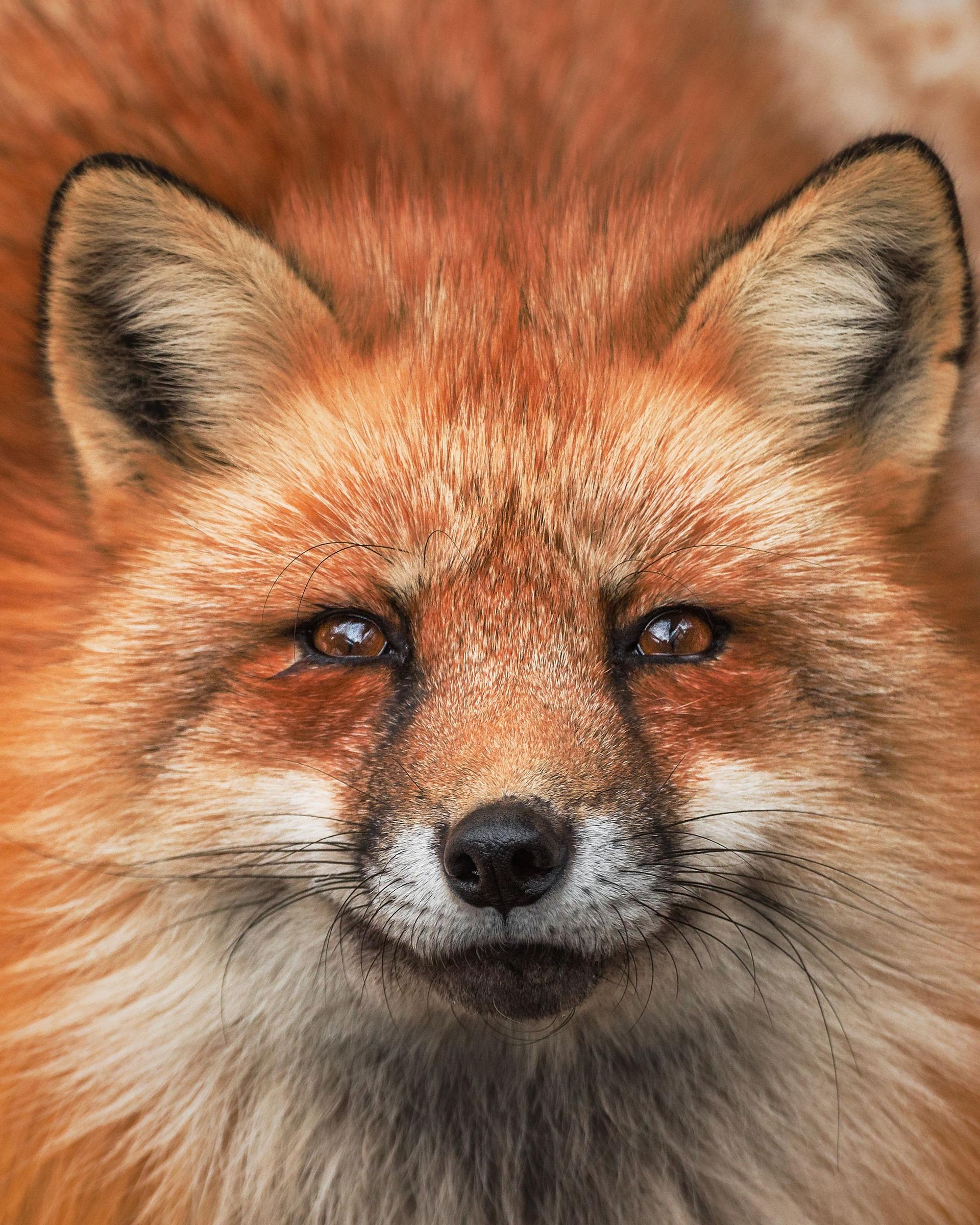 這隻住在藏王狐狸村裡的赤狐樣子非常帥氣。藏王狐狸村是位於日本仙台市的野生狐狸保護地。