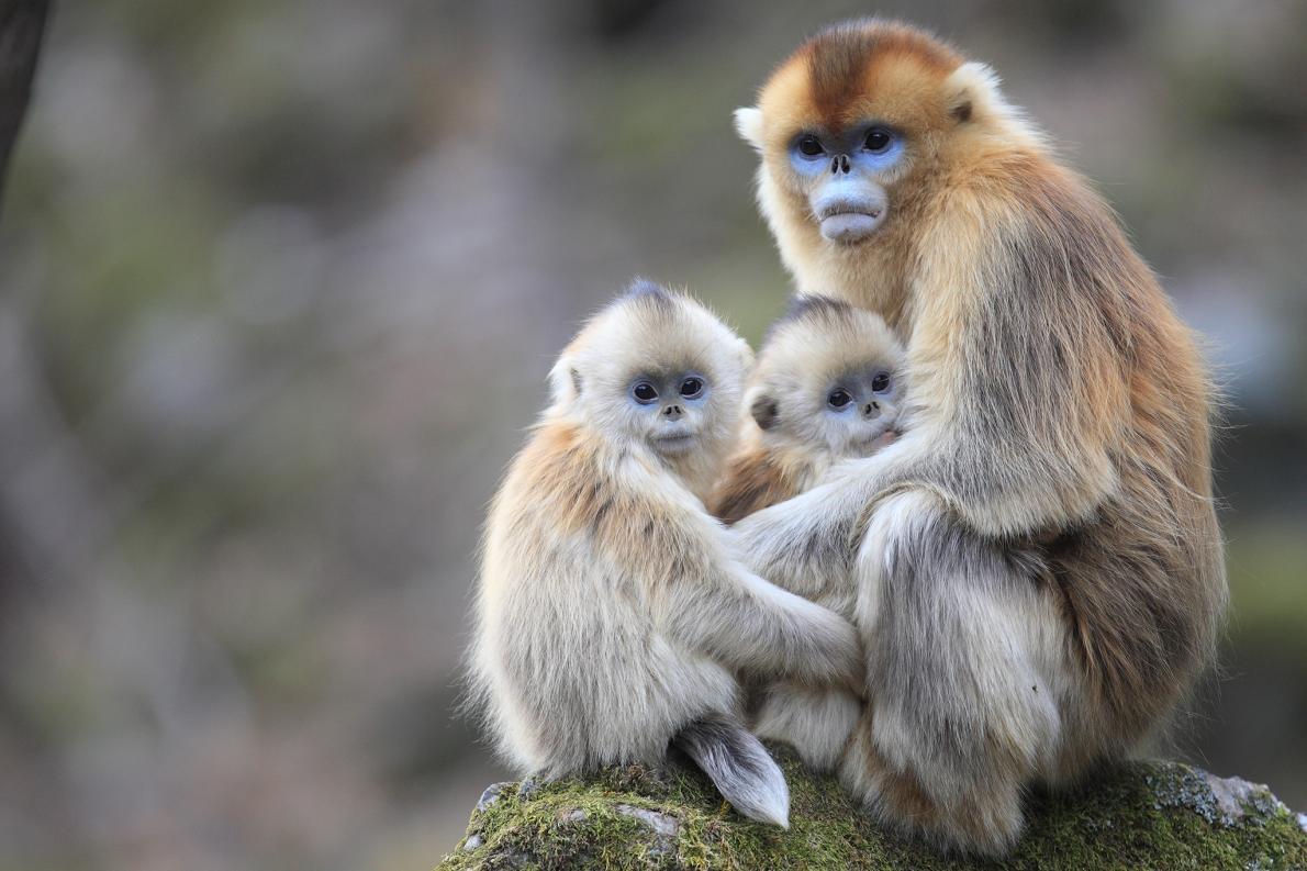 新研究發現,在中國秦嶺山出沒的川金絲猴會照顧其他猴子的小孩。 PHOTOGRAPH BY CYRIL RUOSO, MINDEN PICTURES