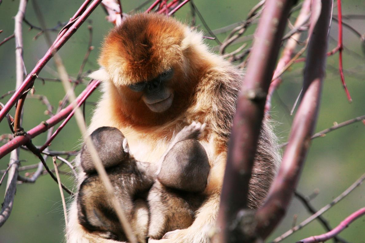 中國的研究員在研究這些猴子好幾年後,才發現一名母親同時哺乳兩名幼猴的現象。同時,他們也才意識到異母哺乳的行為在這個物種中非常普遍。 PHOTOGRAPH BY ZUOFU XIANG