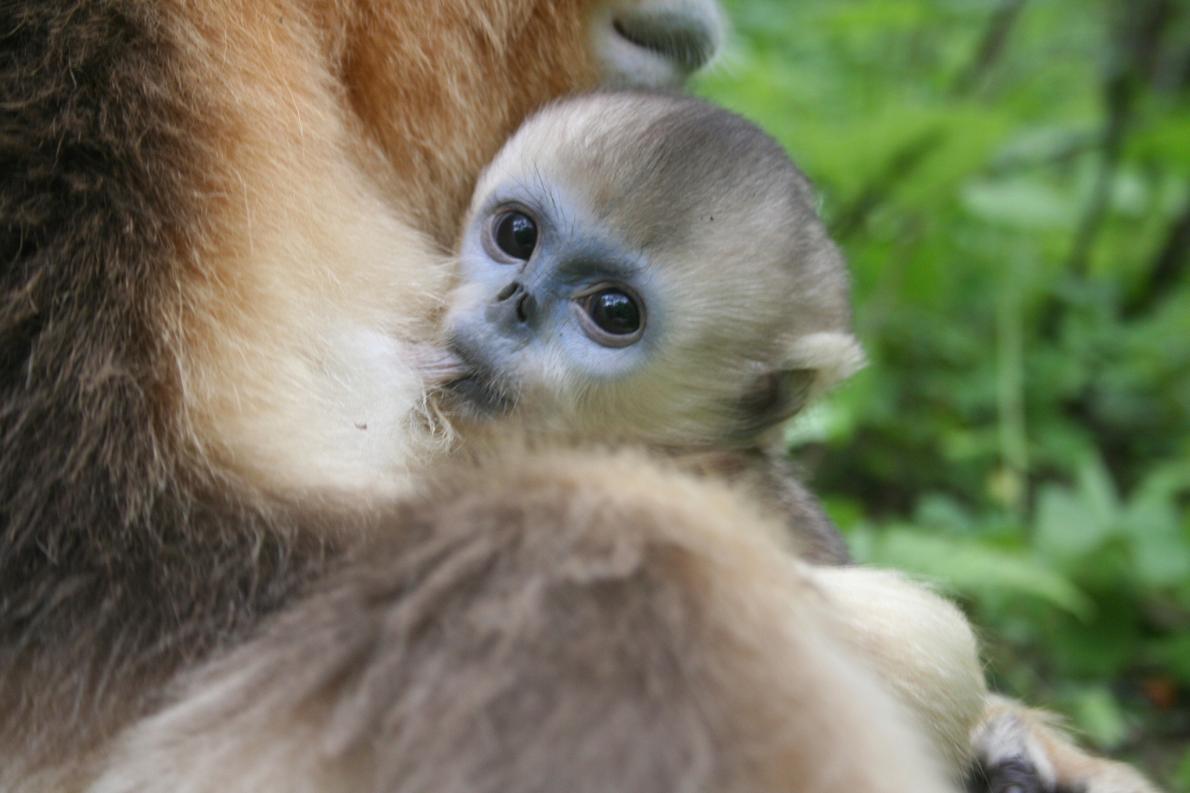 研究人員斷定:異母哺乳讓幼猴在冬天更有生存優勢。 PHOTOGRAPH BY ZUOFU XIANG