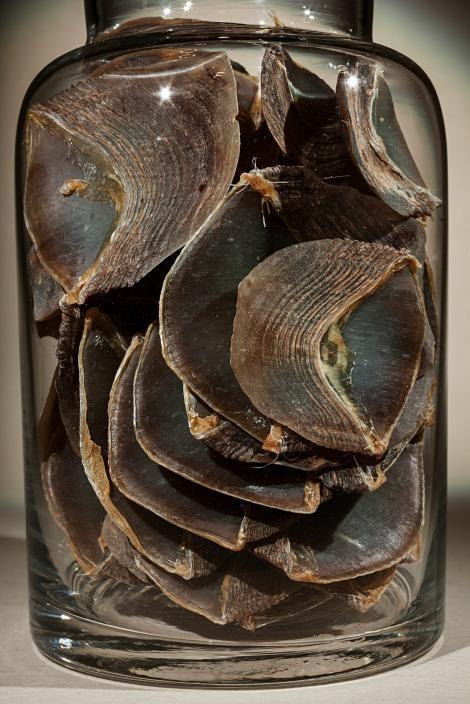 在廣口瓶中的穿山甲鱗片是傳統中醫的一味生藥。穿山甲之所以是世界上盜獵與走私最嚴重的動物,部分原因出自於人們認為牠們的鱗片具有療效,但這在科學上絲毫站不住腳。PHOTOGRAPH BY FRITZ HOFFMANN