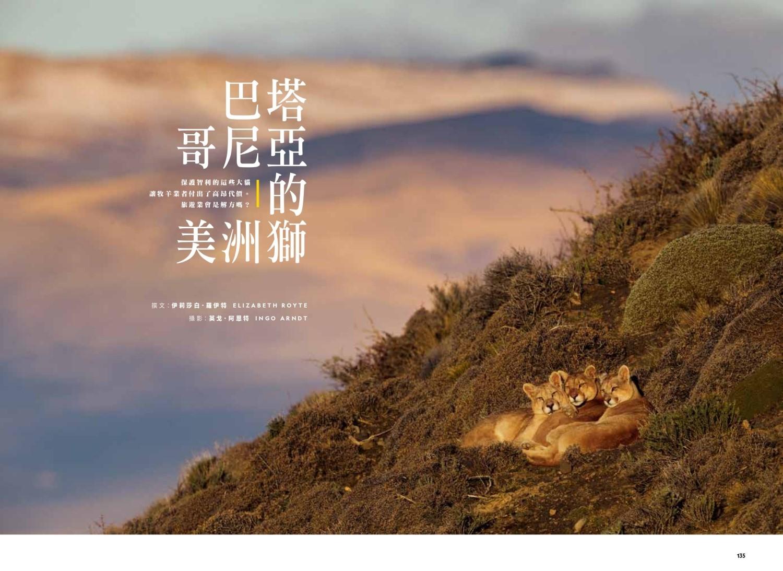保護智利的這些大貓 讓牧羊業者付出了高昂代價。 旅遊業會是解方嗎?
