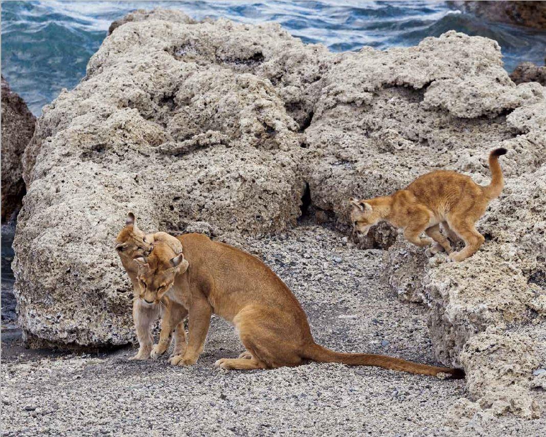 美洲獅似乎喜歡和牠的幼崽在白色石灰岩地上扭打在一起。岩石能保留陽光的溫暖,替這些大貓提供了絕佳的保護──儘管智利的美洲獅並沒有除了人類以外的天敵。