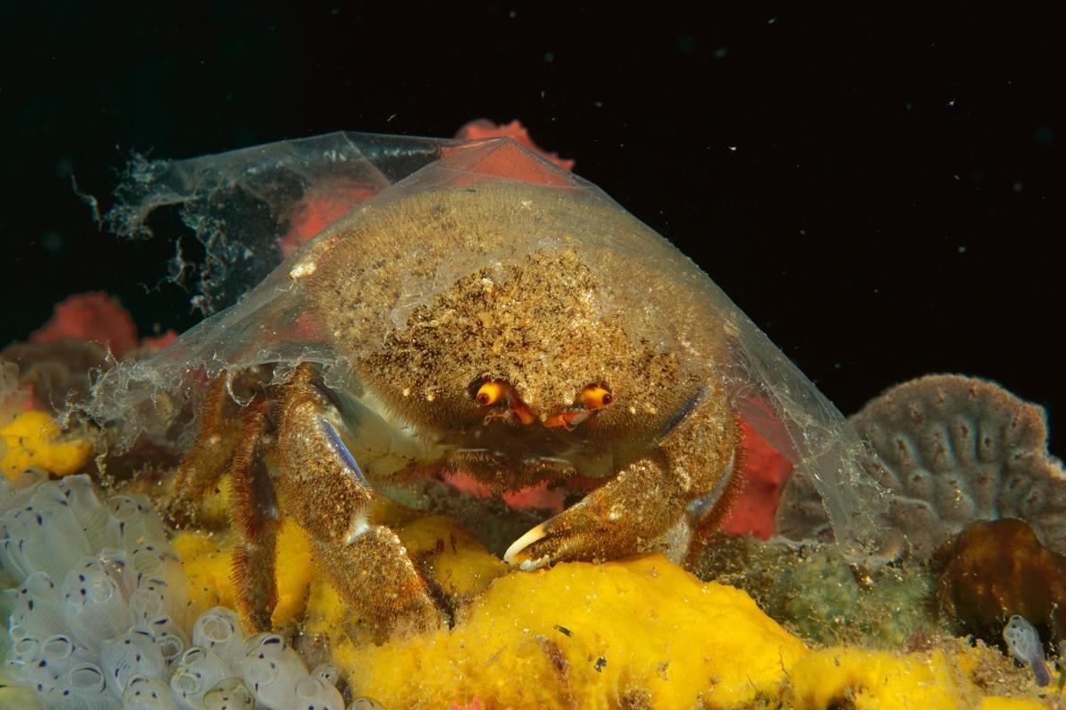 在澳洲的愛迪斯堡,一隻海綿蟹(sponge crab)在殼上覆蓋著一層透明的塑膠片。以往海綿蟹會把海綿鋪在殼上,以躲避掠食者。但塑膠這種人造覆蓋物的保護性不夠。 PHOTOGRAPH BY FRED BAVENDAM, MINDEN PICTURES/NAT GEO IMAGE COLLECTION