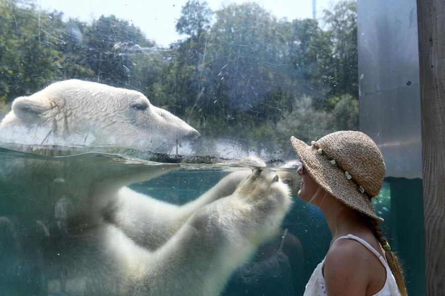 法國某家動物園中一名遊客正在玻璃幕後看著北極熊。包含黃石公園在內的許多美國國家公園,有愈來愈多的遊客冒著死亡風險接近熊或其他野生動物,只為了捕捉拍照的時機。而黃石國家公園甚至為此發布了「安全自拍」的規範,試圖降低這些莽撞的行為。PHOTO BY SEBASTIEN BOZON, AFP/GETTY