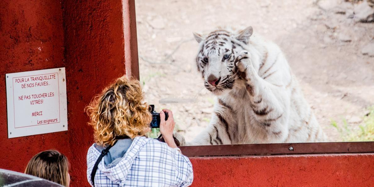 圖中女子正在法國一家動物園中給玻璃幕後面的白老虎拍照,一旁標語則寫著「禁止觸碰」。人們進入野生動物籠舍自拍的事件讓大眾感到困惑:怎麼會有人這麼傻?PHOTOGRAPH BY JO-ANNE MCARTHUR