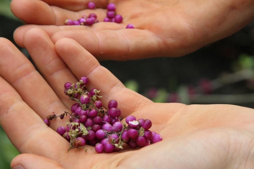 美洲紫珠(Callicarpa americana)是口感清脆的可食野果,有溫和的花香餘味。 PHOTOGRAPH BY JASON SCHMITT