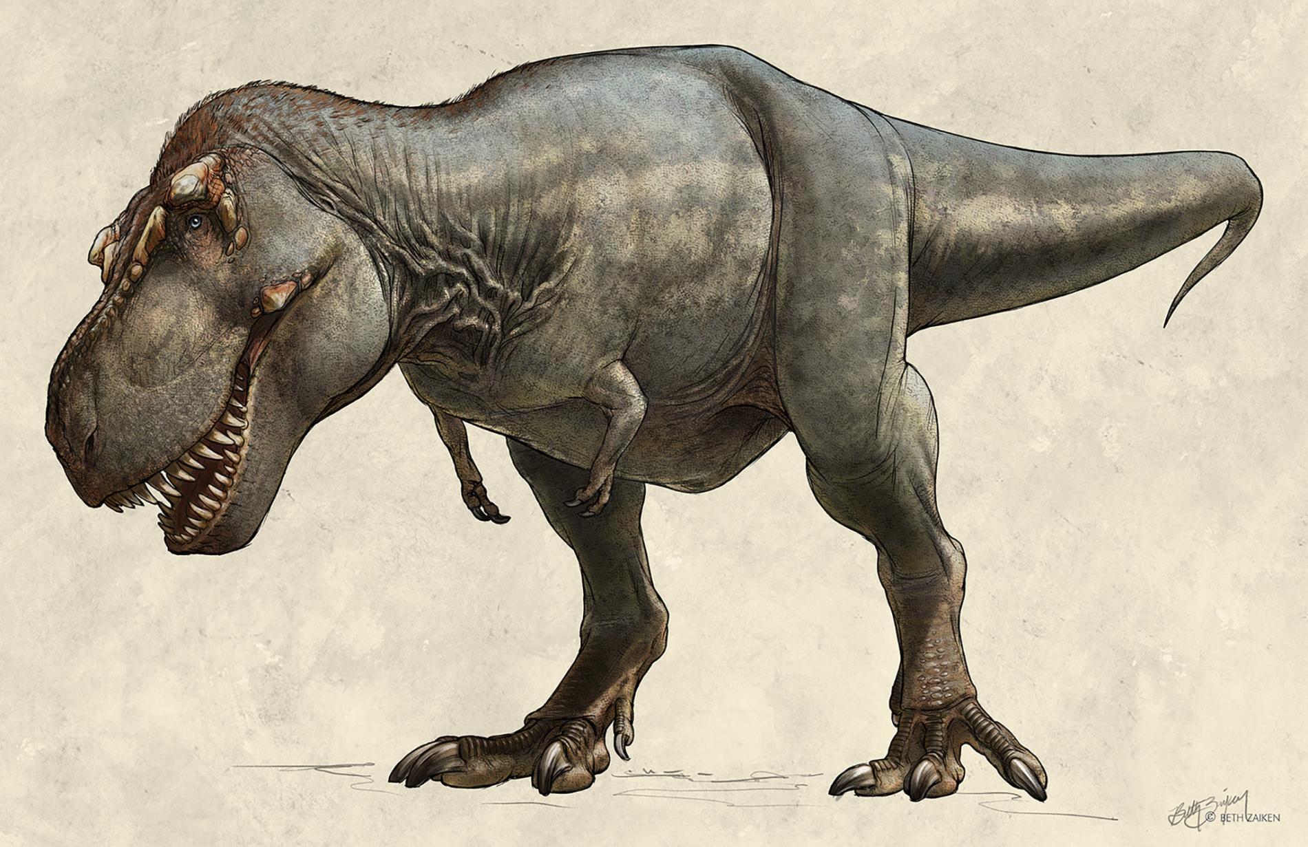 這隻1991年出土的霸王龍(<i>Tyrannosaurus rex</i>)標本又名「史寇提」(Scotty),牠在世時可能重達8,800公斤,是已知最大的霸王龍。 ILLUSTRATION BY BETH ZAIKEN, THE ROYAL SASKATCHEWAN MUSEUM