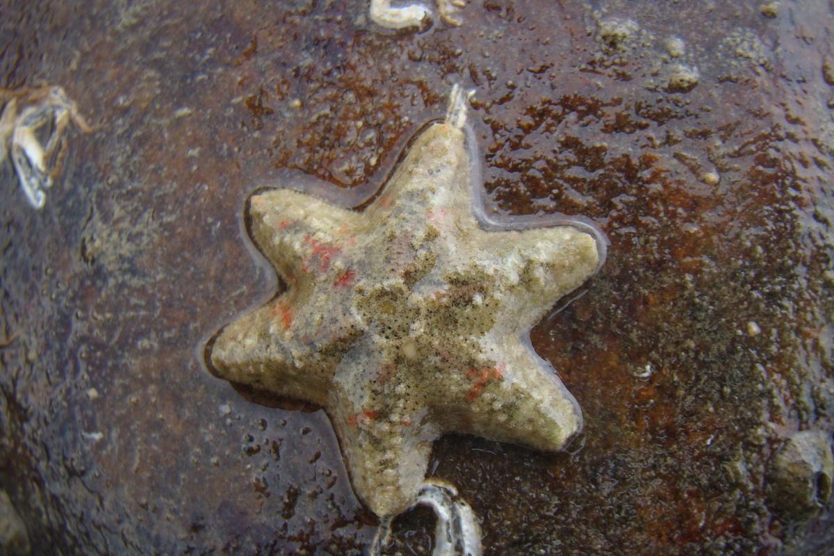 大潭藻礁的一隻海星。Photograph courtesy of Mission Blue