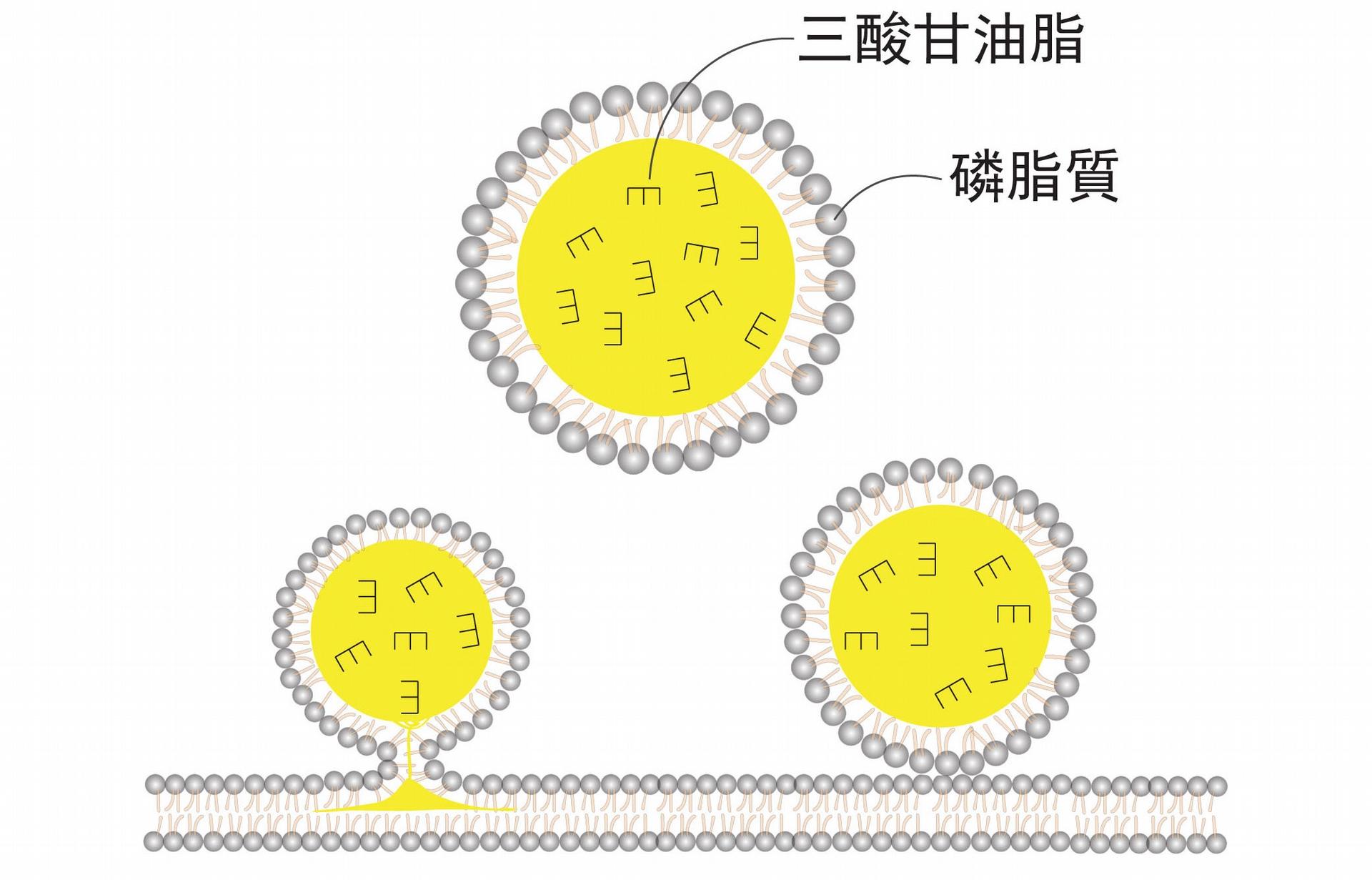 油滴的基本構造,就是一個脂肪球。外面一層膜由「磷脂質」組成,裡面包裹主要是類似「三酸甘油脂」之類的中性脂肪。油滴是從脂肪細胞中的內質網生成,它在細胞中的大小並不一致。 圖片來源│王昭雯
