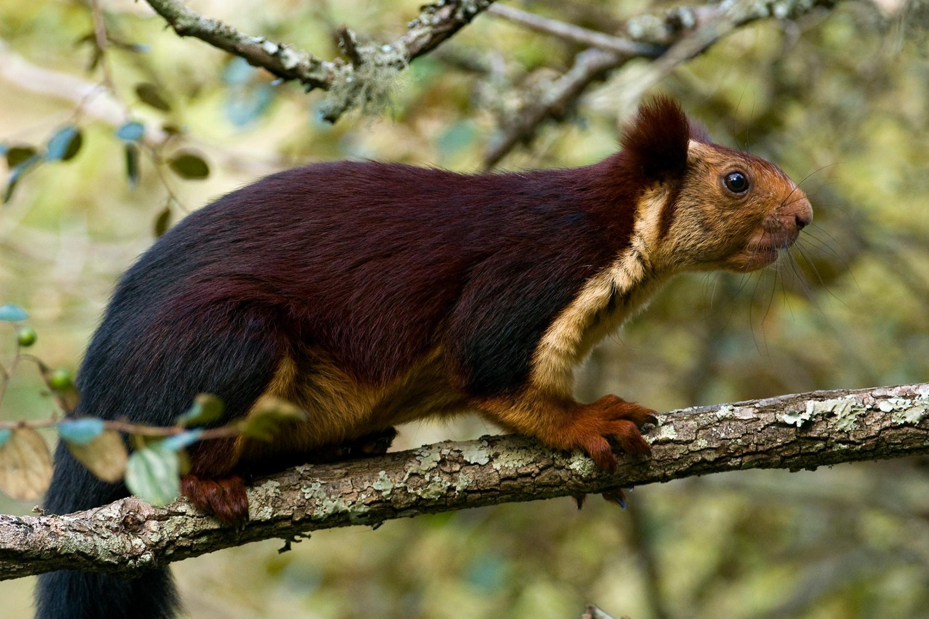 印度巨松鼠(Ratufa indica)體長能達到約46公分。PHOTOGRAPH BY AXEL GOMILLE, MINDEN PICTURES AXEL GOMILLE AXEL GOMILLE AXEL GOMILLE