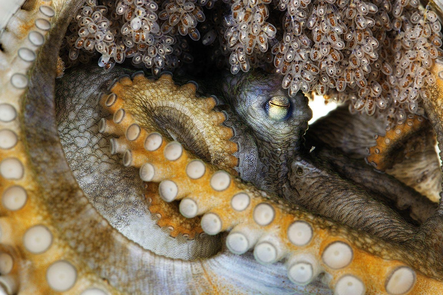 這隻雌章魚屬於尚未經過科學文獻描述的種類,牠正在照顧自己的卵。這些卵孵化後,牠很快就會死去;多數種類的雌章魚一生只繁殖一次。這表示小章魚一出生就必須獨立生活。PHOTOGRAPHED AT CALDWELL LAB, UC BERKELEY
