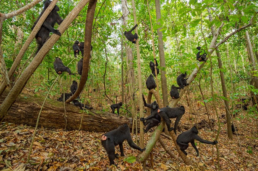 這些群居的獼猴每天的日常包括在帑可可自然保護區的森林裡閒晃、覓食、理毛、發呆。如果有獼猴獨自前往其他地方,也會利用叫聲來與群體保持聯繫。攝影:史帝凡諾.翁特爾西納  Stefano Unterthiner