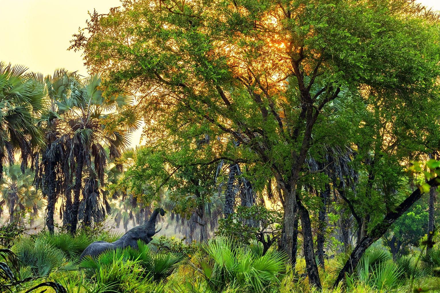在莫三比克的哥隆戈薩國家公園裡,一隻公象正在抓取牠傍晚的點心。公園內大部分的大象都在長達15年的內戰期間遭到殺害,牠們的象牙被用來購買武器。內戰在1992年結束,由於盜獵受到控制,大象族群數量正在恢復。攝影:查理.漢米爾頓.詹姆士 CHARLIE HAMILTON JAMES