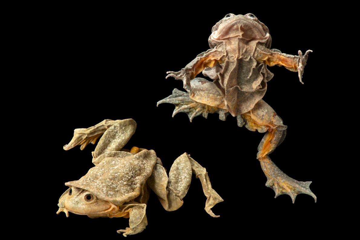的的喀喀湖蛙因為可以製作成一種稱為「青蛙汁」的壯陽飲料,因此常被盜獵,極度瀕危。PHOTOGRAPH BY JOEL SARTORE, NATIONAL GEOGRAPHIC PHOTO ARK