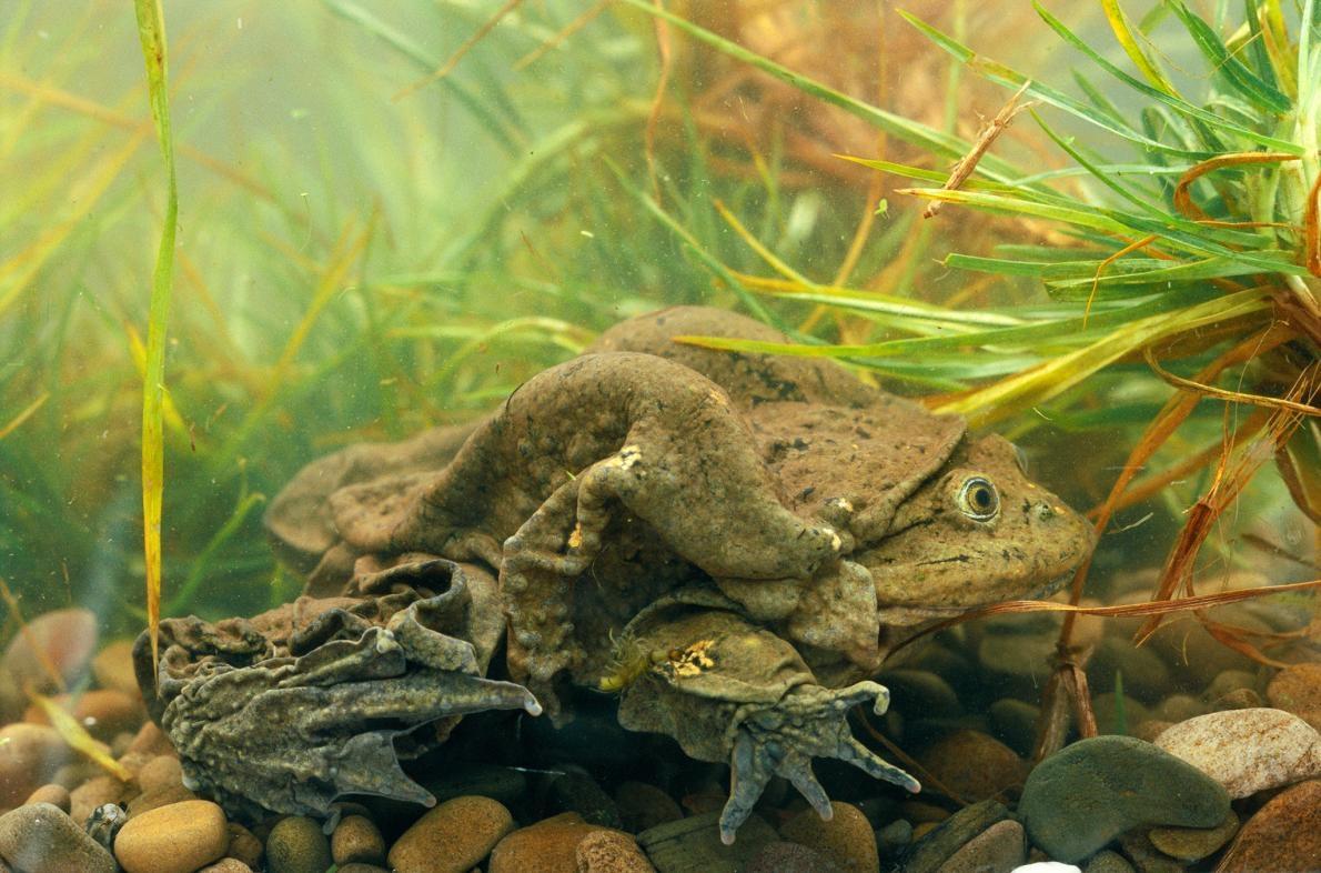 的的喀喀湖蛙是該湖的一種象徵,也是祕魯人的驕傲,這就是為什麼祕魯與玻利維亞的政治人物近年來會一起合作清理這座湖。PHOTOGRAPH BY PETE OXFORD, MINDEN PICTURES/NAT GEO IMAGE COLLECTION