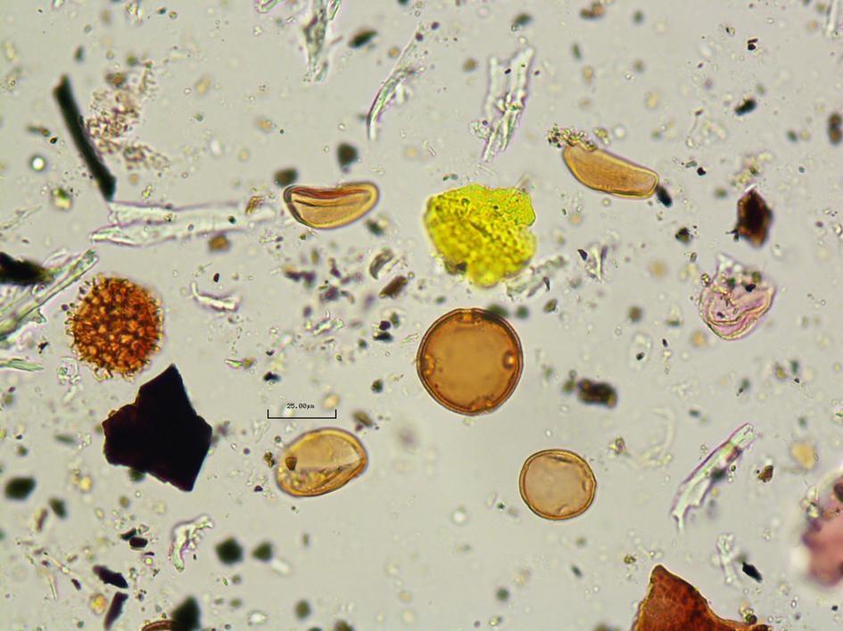 研究人員也分析了糞化石裡找到的花粉,顯示這個人吃了絲蘭的花。PHOTOGRAPH COURTESY OF CRYSTAL DOZIER