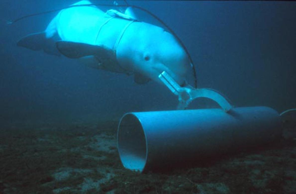 一頭與美國海軍合作的白鯨標記訓練目標。PHOTOGRAPH BY U.S. NAVY