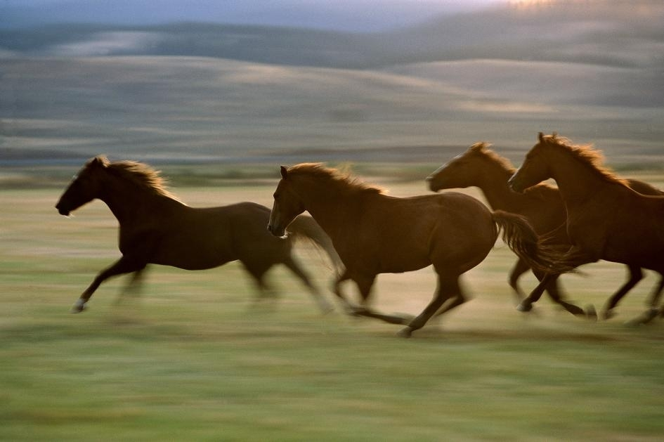 新研究揭露,人們為了「速度」培育馬兒的行為,是在過去200年間才開始快速增加。(圖中是奧勒岡的馬兒。)PHOTOGRAPH BY KONRAD WOTHE, MINDEN PICTURES/NAT GEO IMAGE COLLECTION