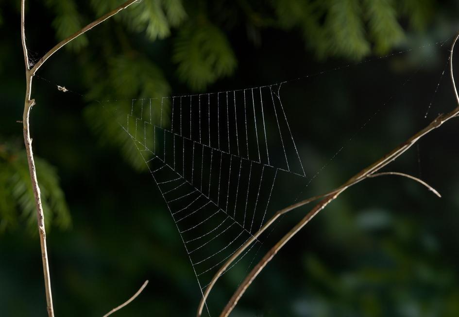 一隻三角蛛屬(Hyptiotes)的蜘蛛在剛結好的網上等待獵物。PHOTOGRAPH BY STEPHEN DALTON, NATURE PICTURE LIBRARY