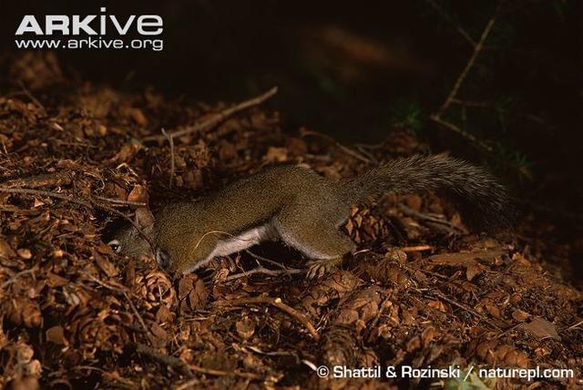 正在藏松果的小松鼠。圖:Arkive