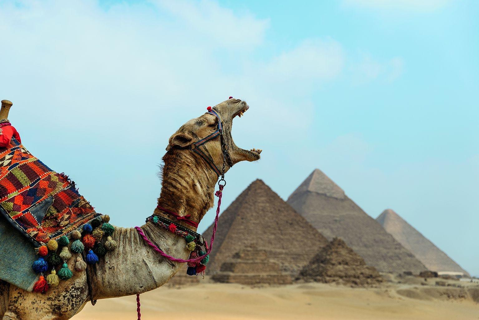 埃及。吉薩金字塔群是世界七大奇觀之一,卻令這匹名叫艾力克斯的駱駝大打呵欠。這片建於4500年前的法老陵墓群是建築創意的奇蹟。其中最大的一座金字塔以230萬個大石塊建成,高147公尺。PHOTO: CLAIRE THOMAS