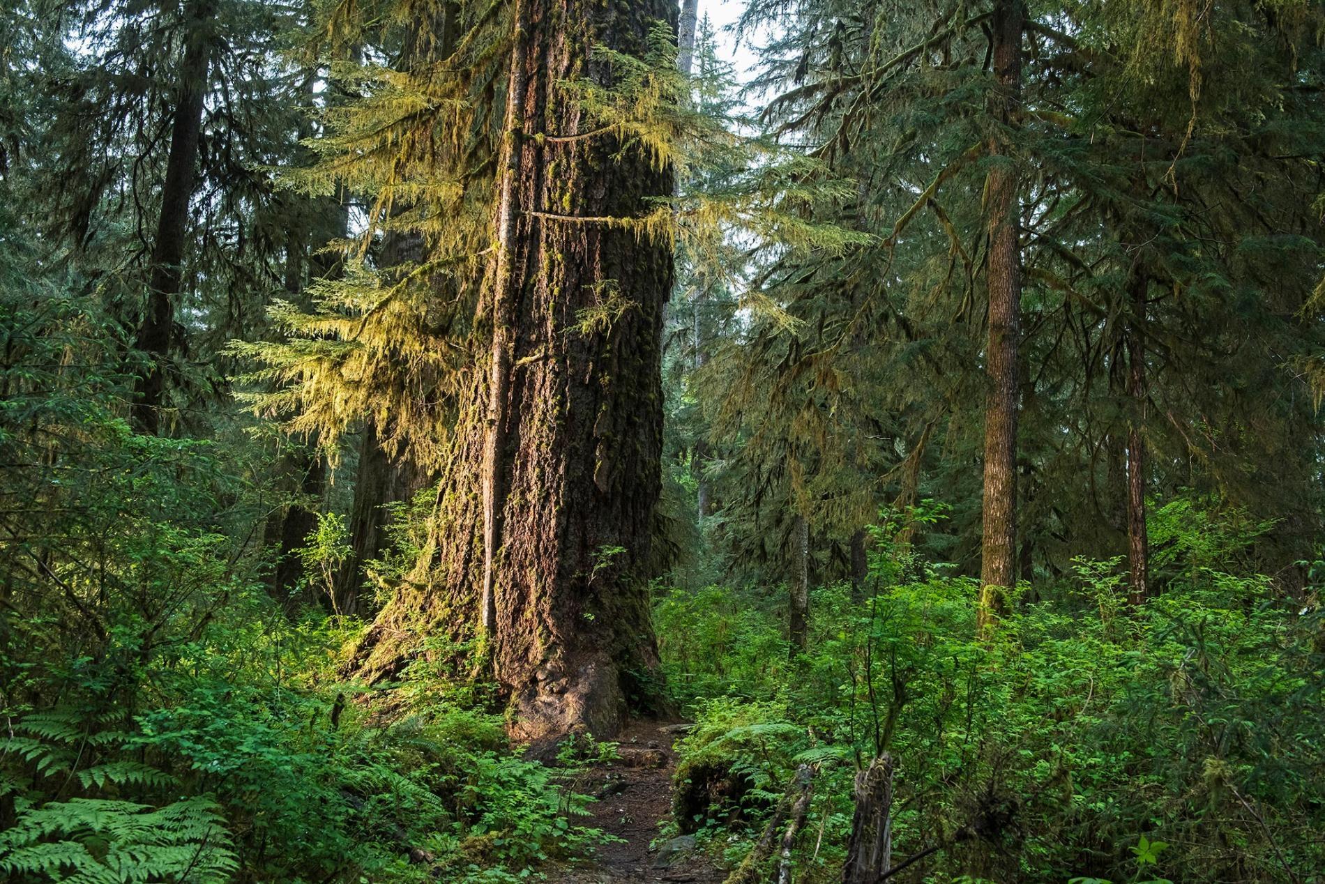 像華盛頓州奧林匹克國家公園的「苔蘚殿堂」(Hall of Mosses)那樣的森林,就是重要的「碳匯」,像這樣的地區吸收的碳多、排放的碳少。PHOTOGRAPH BY KEITH LADZINSKI, NAT GEO IMAGE COLLECTION