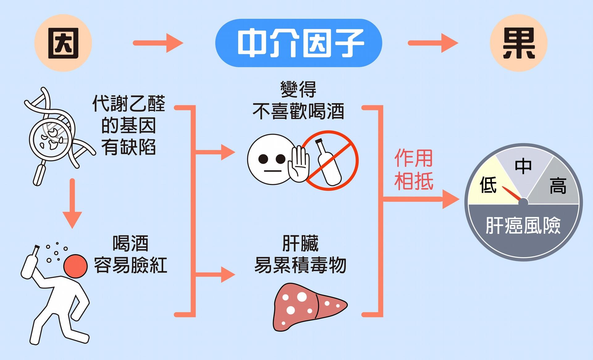 代謝乙醛的基因有缺陷,會造成人們不喜歡喝酒(間接作用),但肝臟也會容易累積毒物(直接作用)。兩個作用相抵,對於肝臟其實不會造成顯著的罹癌風險。(編註:2019/3/19 將甲醛更正為乙醛) 圖說設計│林婷嫻、林洵安