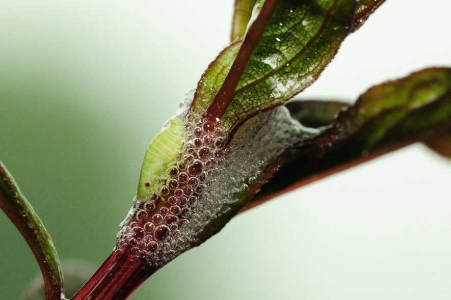 沫蟬若蟲正坐在一團氣泡墊中,模仿成一團讓掠食者容易錯過的唾沫。PHOTOGRAPH BY DARLYNE A. MURAWSKI, NAT GEO IMAGE COLLECTION