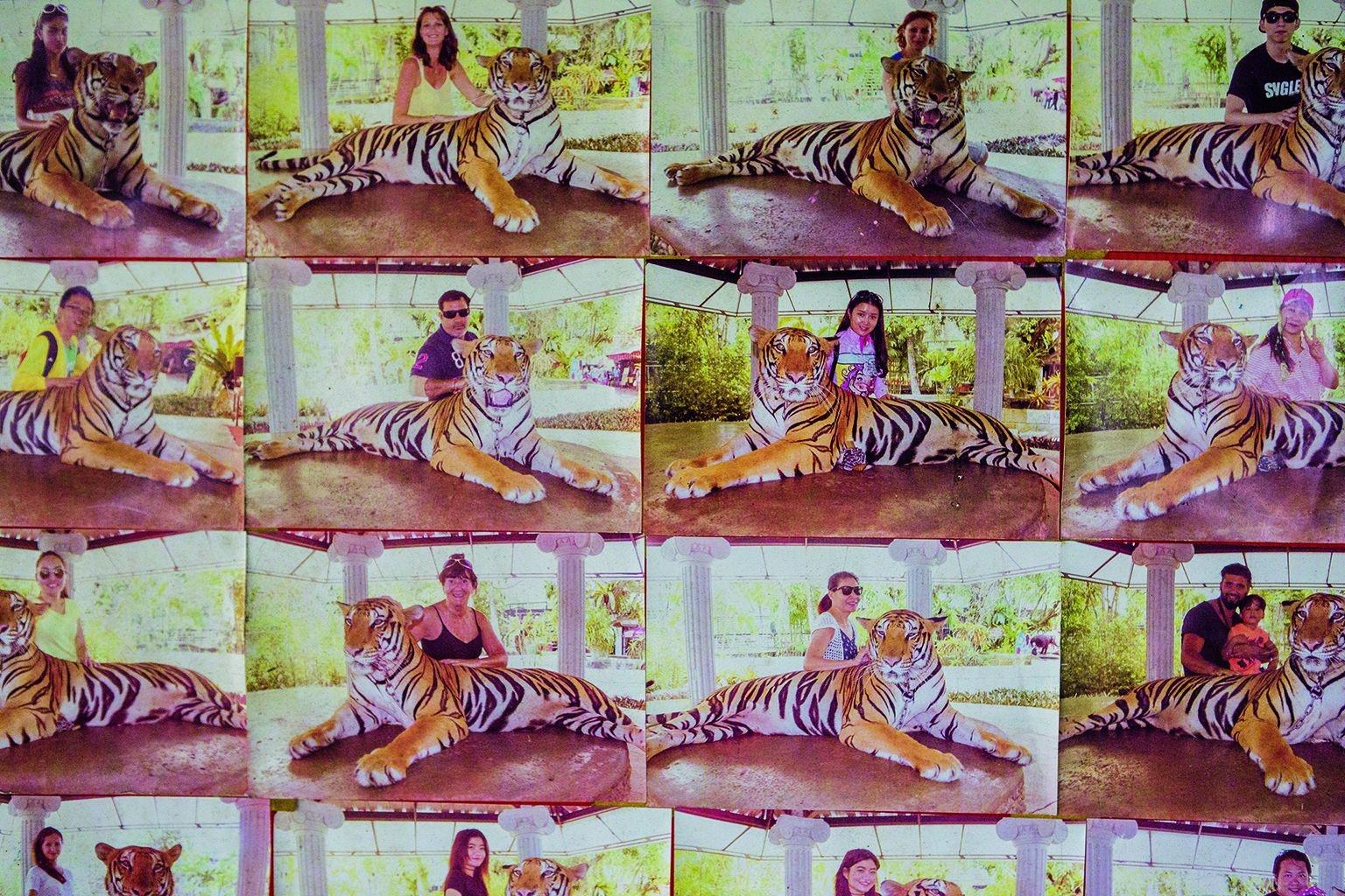 遊客付十美元就能與泰國普吉動物園的這頭老虎拍照。這裡的展示板上貼著紀念照樣本。這頭老虎被短鏈拴住,站不起來。為了保護與老虎照相的人,老虎可能會被除去爪子或是被下藥。攝影: 柯爾斯登. 魯斯 KIRSTEN LUCE