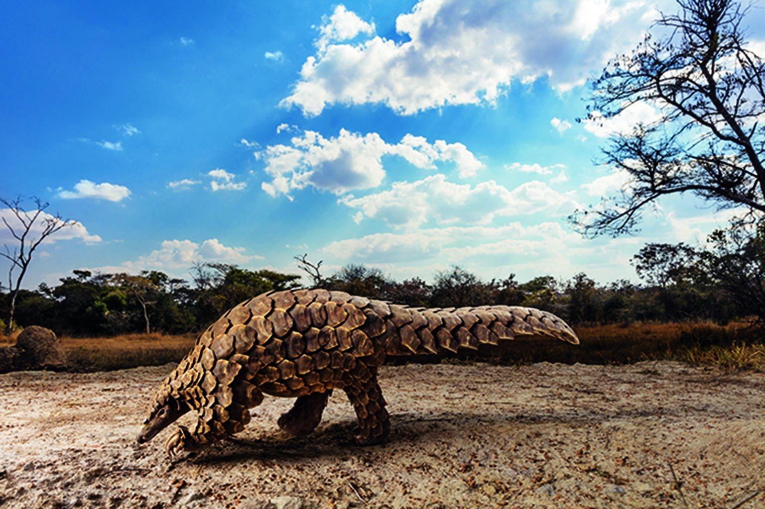 這隻南非穿山甲名叫塔慕達,從非法野生動物交易販子的手中被救出,正在辛巴威一處復原中心尋找螞蟻或白蟻大餐,非法販子本來很可能會把牠的鱗片走私到亞洲,用於傳統藥物中。攝影:布蘭特.史特頓(BRENT STIRTON)